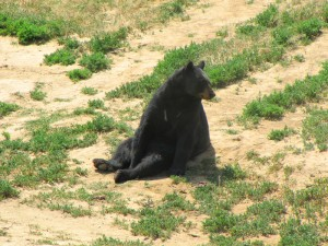 sitting-bear_ajai800